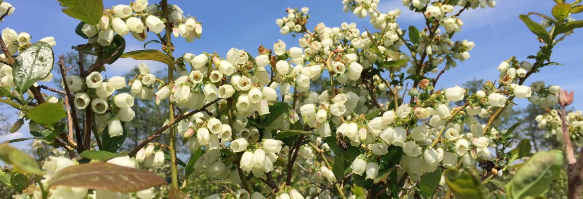 Heidelbeeren in Blüte